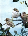 The Book of Baby Birds, 1912